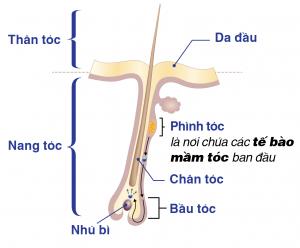 nang tóc được cấu tạo bởi nhiều thành phần khác nhau
